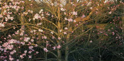 A Magnolia cambellii flowering in Antony Woodland