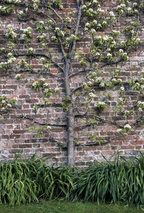 Detail of a Pear Doyenne Du Comice in the garden of Antony House