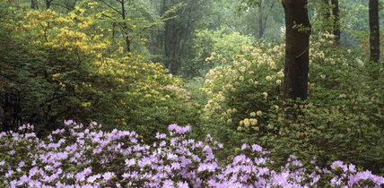 A view of a mass of azalea flowers amongst oak and beech woodland at Stagshaw Garden