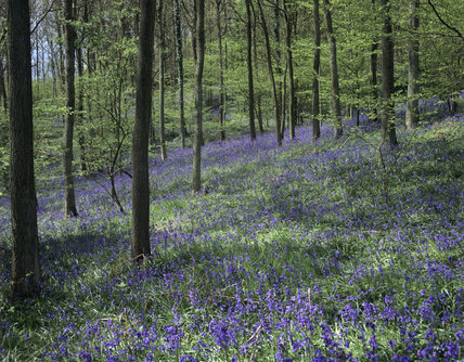 Frank's Wood on Leith Hill carpeted with bluebells in full bloom