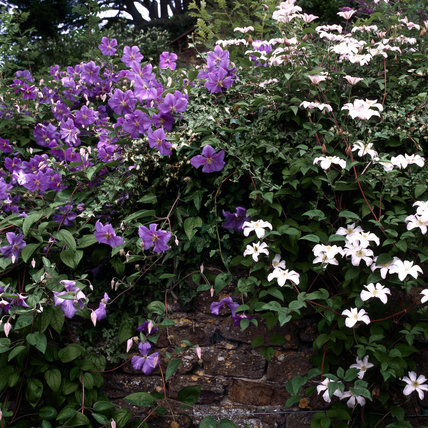 Blue Clematis Perle d'Azur and white Clematis Huldine trailing on a weathered stone wall at Upton House