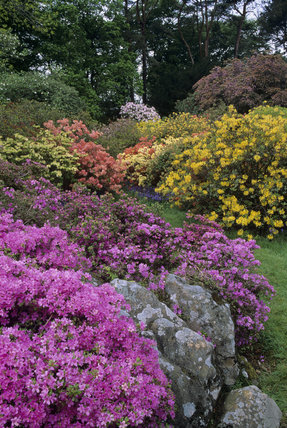 Colourful display of azaleas and rhododendrons at Rowallane in May