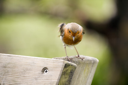 A robin(Erithacus rubecula) in the garden at Trerice, Cornwall