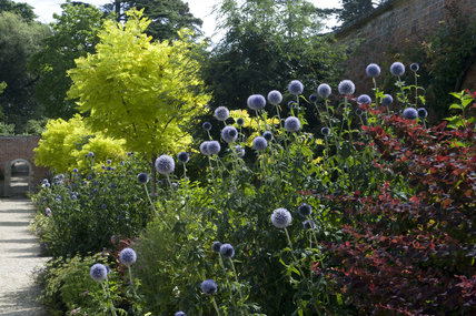 Echinops in the Peter Coats border in August in the garden at Buscot Park, Oxfordshire