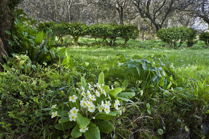 Primroses in April in the garden at Godolphin House, near Helston, Cornwall