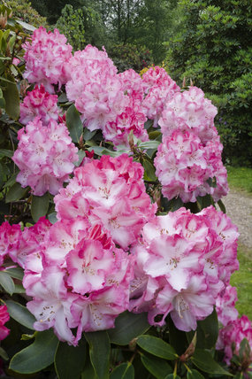 Close view of pink rhododendron in the Rhododendron Wood planted around 1900 to create an attractive vista from Leith Hill Place, Dorking, Surrey