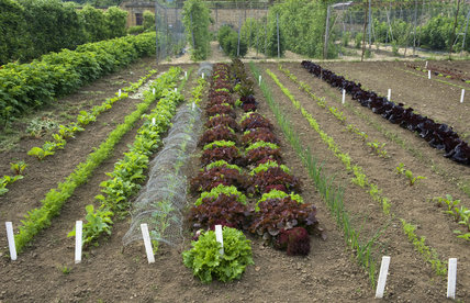 Salad crops growing in the Kitchen Garden in early summer at Barrington Court, Somerset