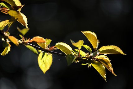 New foliage on a cherry tree in April in Bohetherick orchard, near Cotehele Quay, Cornwall