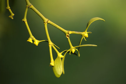 Mistletoe (Viscum album) in April growing in the fruit orchard at Cotehele, Cornwall