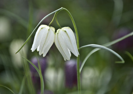 Snake's Head fritillary, Fritillaria Meagris, at Nymans, West Sussex,  in March