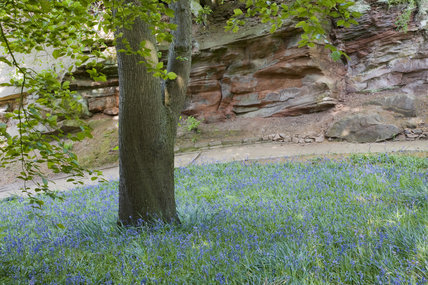 Bluebells and the geological feature near the top path in the garden which was created in the late eighteenth century by Samuel Greg, the mill owner, and his wife Hannah, to complement their house
