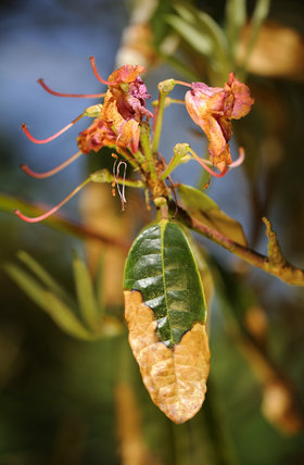 Signs of the fungal disease, Phytophthora ramorum - also known as Sudden Oak Death on rhododendron at Trengwainton Garden, Cornwall. The fungus was believed to have been brought over from America and because of our now w