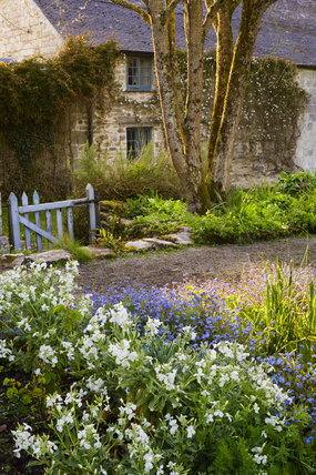 Bluebells in the garden in April to the east of the house at Godolphin, near Helston, Cornwall