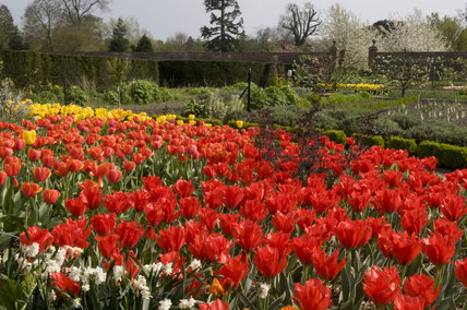 Massed tulips in the Walled Garden with the vegetable garden in the distance, in April at Wimpole Hall, Cambridgeshire.