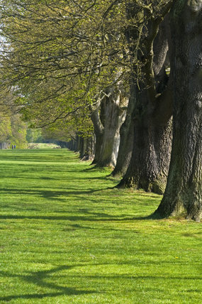 The Long Walk or Avenue of oak trees at Gibside, Newcastle upon Tyne