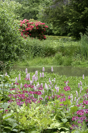 Candleabra primula and rhododendron in the garden at Knole, Sevenoaks, Kent