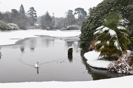 Swans on the lake in snow at Sheffield Park, East Sussex