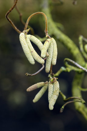 Male catkins on the Common Hazel, Corylus avellana