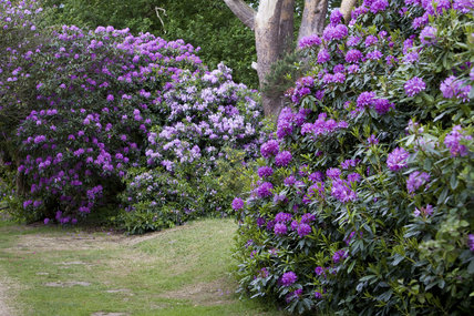 Rhododendron ponticum in the Wild Garden in June at Sheringham Park, Norfolk