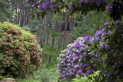 Rhododendrons growing in the Wild Garden in June at Sheringham Park, Norfolk