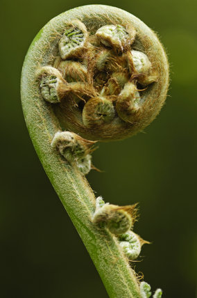 Tree Fern, Dicksonia antartica, unfurling at Trengwainton, near Penzance, Cornwall