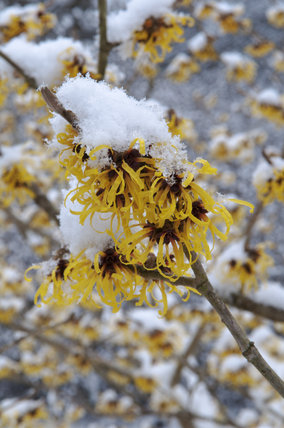 Snow on Hamamelis (Witch hazel) at Sheffield Park, East Sussex