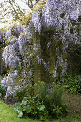 Wisteria floribunda in early summer in the garden at Barrington Court, Somerset