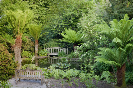Dicksonia antarctica (Tree fern) around the pond at Trengwainton Garden, Cornwall.