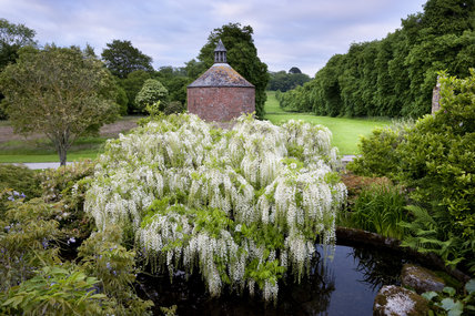 The white wisteria in the Japanese Garden created by Sir John Carew Pole (1902-1993), and the eighteenth century circular dovecote in May at Antony, Cornwall