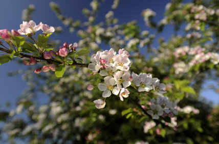 Apple blossom in April, in the fruit orchard at Cotehele, Cornwall