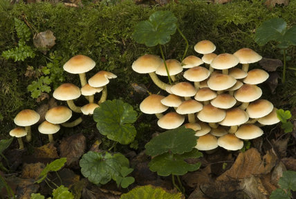 Group of Sulphur Tufts, Hypholoma fasciculare, growing in dense cluster on tree stump
