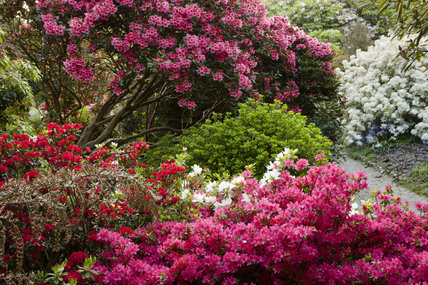 Colourful azaleas and rhododendron in June at Trengwainton Garden, Cornwall.