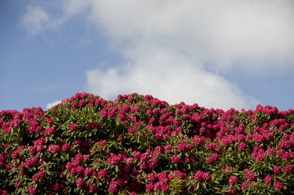 Deep pink rhododendron in spring at Trelissick Garden, Cornwall