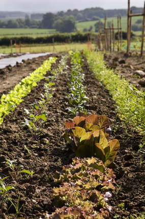 Salad crops in the new vegetable garden at Sissinghurst Castle in June