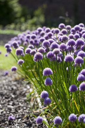 Chives growing in the Walled Garden in June at Gibside, Newcastle upon Tyne