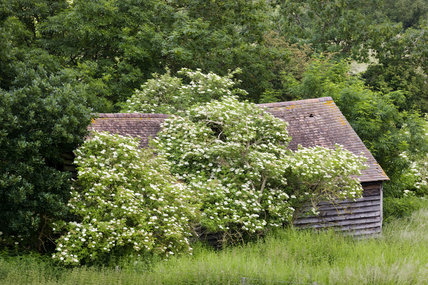Old barn overgrown with elder, near the Panorama Tower at Croome Park, Croome D'Abitot, Worcestershire
