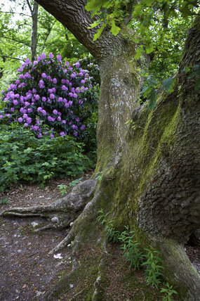 Rhododendrons and trees in the Wild Garden at Sheringham Park, Norfolk