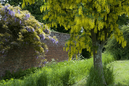 Laburnam tree in full flower with Wisteria sinensis along the Orchard Avenue at Barrington Court, Somerset