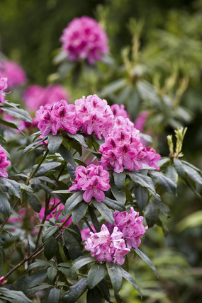 Rhododendrons in June, in the Wild Garden at Sheringham Park, Norfolk
