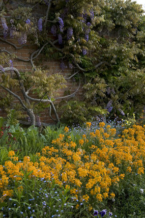 Spring colour combination of deep yellow Siberian wallflowers and blue Forget-me-nots in the garden at Barrington Court, Somerset