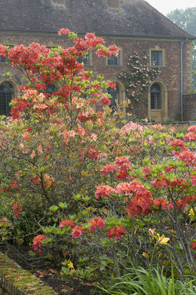 Brightly coloured azaleas in the garden with Strode House beyond, at Barrington Court, Somerset