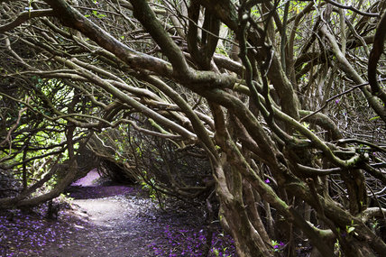 A tunnel of trees in the Wild Garden at Sheringham Park, Norfolk