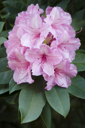 Close view of a pink rhododendron in the Rhododendron Wood planted around 1900 to create an attractive vista from Leith Hill Place, Dorking, Surrey
