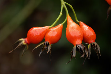 Rose hips, Rosa Autumn Flame, in an East Sussex garden in January