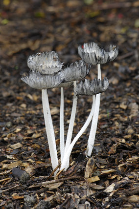 Coprinus Lagopus, a tallish, fragile grey agaric-cap with whitish-grey fibrils, growing in leaf litter and shadey woods, edible but not worthwhile