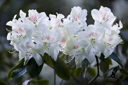 Close view of striking white rhododendron in the Rhododendron Wood planted around 1900 to create an attractive vista from Leith Hill Place, Dorking, Surrey