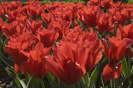 A mass of scarlet tulips in the Walled Garden in April at Wimpole Hall, Cambridgeshire.