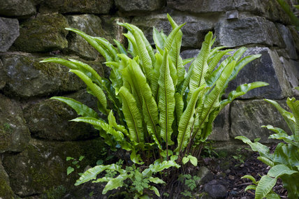 Hart's tongue fern growing in the rockface of the Cascade, in the Wilderness at Prior Park Landscape Garden, Bath