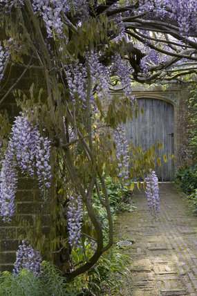 Wisteria floribunda in early summer on the pergola in the garden at Barrington Court, Somerset