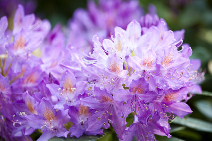 Close view of rhododendrons in flower in June in the woodland at Gibside, Newcastle upon Tyne